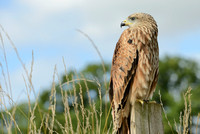 """Muckle Roe"" - Red Kite [M]"